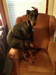 yes, i'm comfortable, why? #Doberman #dog