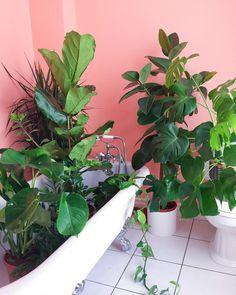 Sunday night pool party featuring my new fiddle leaf fig . . . . . . . . #urbanjungle #urbanjunglebloggers #houseplant #houseplants #houseplantclub #plants #plantsofinstagram #monstera #monsteradeliciosa #cactus #cactuslover #fiddleleaffig #ficuselastica #plantlove #plantsonpink #crazyplantlady #imaplanthoarder #plantlover #jungalow #jungalowstyle #myhomevibe #prickleandvine #monsteramonday #botanical #plantlady #cactuslove #devilsivy #succulents #succulentlove