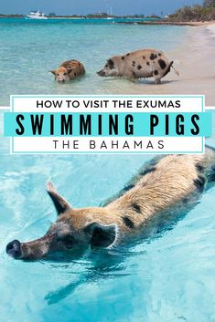 The Exuma Pigs are Swimming Pigs that live at Pig Beach in the Exuma Islands. These famous Bahamas P Bahamas Resorts, Bahamas Honeymoon, Bahamas Beach, Exuma Bahamas, Bahamas Vacation, Bahamas Cruise, Nassau, Bahamas Pigs, Cat Island Bahamas