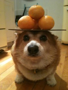 """Oh my darlin', Oh my darlin', oh my darlin' Clementine..."" - Cutalicious Pembroke Welsh Corgi Hazel balances the apples of love - from ThingsonHazelsHead via CorgiAddict"