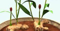Υγεία - Το τζίντζερ είναι ένα από τα θαυμαστά εκείνα φυτά που αναπτύσσονται σε μερικώς σκιερά μέρη, πράγμα που το κάνει ιδανικό για καλλιέργεια μέσα στο σπίτι, όπο Indoor Plants, Potted Plants, Garden Boxes, Ikebana, Permaculture, Garden Paths, Trees To Plant, Botanical Gardens, Vegetable Garden