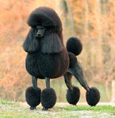 """London"" Athlete Top winning Black Male Poodle (all varieties) in the American Kennel Club history."