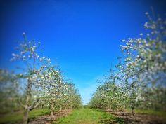 Fine art photography - Apple Orchard