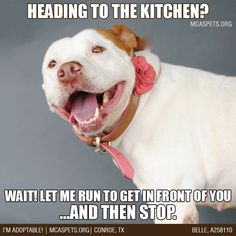 Pit Bulls---This must be a pit bull trait because my sweet pit will do this each and every time.