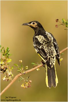 Regent Honeyeater. Moderately common in eucalypt forests and woodlands in south-east Australia. Found along the Great Dividing Range from Rockhampton, Queensland and south through New South Wales, Victoria to Adelaide in South Australia.