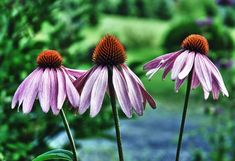 6 Easy Perennial Plants for a Low-Maintenance Garden Best Perennials, Flowers Perennials, Planting Flowers, Flower Gardening, Indoor Gardening, Companion Planting Chart, Hanging Herbs, Hanging Planters, Growing Peonies