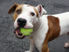 Manhattan Center GUNNER aka STEFAN – A1069757  MALE, WHITE / BROWN, PIT BULL MIX, 3 yrs STRAY – STRAY WAIT, HOLD FOR RTO Reason STRAY Intake condition UNSPECIFIE Intake Date 04/08/2016, From NY 11212, DueOut Date04/11/2016
