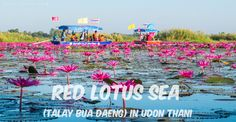 Go to north of the town of Kumphawapi district about 50 kilometers. You will see the lake is covered by millions of lotus flowers.  #UdonThani #Thailand #lotus #flower #travel #lake #sea #homestay