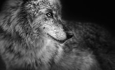 Beauty. Animals Images, Animal Pictures, Wild Animals, Troy, Animal Photography, Portrait Photography, Amazing Photography, Ghost In The Machine, Wild Dogs