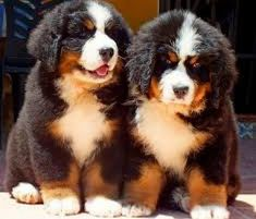 Bernese Mountain, Mountain Dogs, Bernese Dog, Cute Puppies, Cute Animals, Dogs, Pretty Animals, Bernese Mountain Dogs, Bernese Mountain Dogs