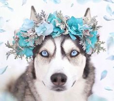 Majestic Handmade Flower Crowns For Dogs And Cats Pretty Animals Pretty Animals, Cute Funny Animals, Cute Baby Animals, Cute Cats, Cute Dogs And Cats, Adorable Dogs, Animals And Pets, Cute Dogs Breeds, Dog Breeds