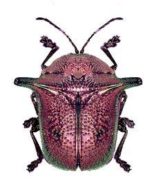 Omocerus sanchoralis