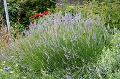 Lavender x Provence: I have several of these, cant say enough good things.  They are the best lavenders for our wet winters, dry humid summers,  heavy red clay soil here in ATL. Once established, I dont need to water.