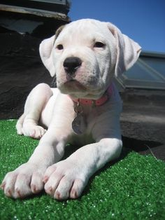 this American bulldog puppy is too cute.