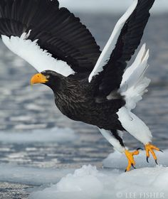 Stellers Sea Eagle    (Photo by Lee Fisher)