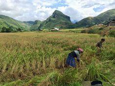 Harvest rice Small Group Tours, Tour Operator, Hanoi, Day Tours, Harvest, Vietnam, Rice, Mountains, Travel