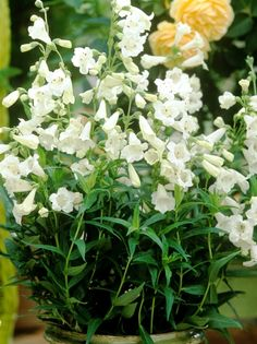 Buy Penstemon Snow Storm Online | Hayloft Plants