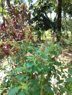 holy basil Sage Herb, Organic Seeds, Herbal Medicine, Herb Garden, Purple Flowers, Holi, Basil, Herbalism, Herbs