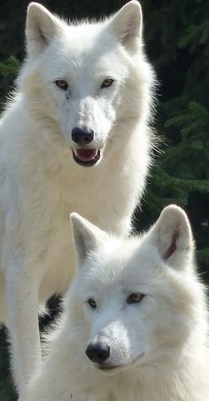 About Wild Animals: Cute white wolves Wolf Photos, Wolf Pictures, Animal Pictures, Beautiful Wolves, Animals Beautiful, Tier Wolf, Grand Chat, Wolf Hybrid, Funny Animals