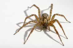 Image Detail for - Like many spider species, the female hobo spider is larger than the ...