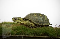 Free Pictures, Free Images, Eastern Box Turtle, Tortoise, Box Turtles, Tortoise Turtle, Turtles, Turtle