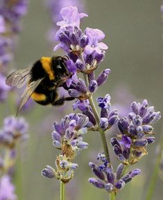 pollinating lavender
