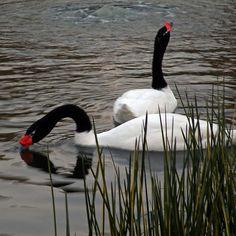 Cisnes de cuello negro....