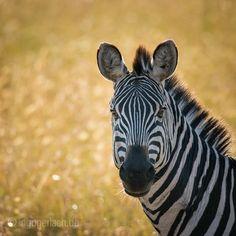 Curiosity. | Masai Mara. | Kenya. |  More pics: www.shop.ingogerlach.de