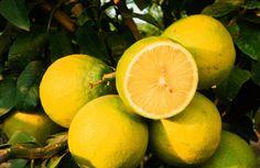 Bergamot - Citrus bergamia Therapeutic actions include: analgesic, antidepressant, anti-inflammatory and antispasmodic.