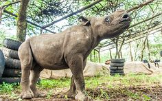 Nicky, a rare black rhino is blind and was rescued after he was found bumping into trees and rocks. He lives at Lewa Wildlife Conservancy in Kenya that is supported by Prince William and is where he proposed to Kate.