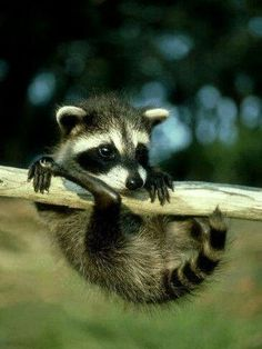 Baby racoon