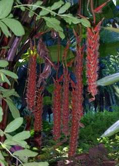 heliconia in hawaii | Hawaii Tropical Botanical Garden--Huge Heliconias | Flickr - Photo ...