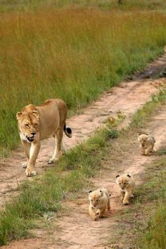 Lioness Taking Her Three Babies For a Walk. They are so Adorable!