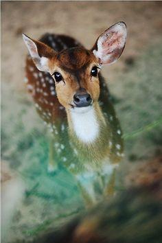 Doe a deer.a wee little baby deer Cute Creatures, Beautiful Creatures, Animals Beautiful, Nature Animals, Animals And Pets, Wild Animals, Green Animals, Cute Baby Animals, Funny Animals