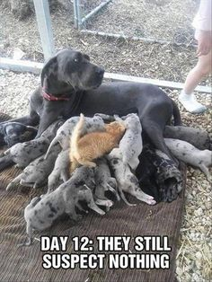 Great Dane, Labrador Retriever, Cat, Puppy, Kitten Meme: DAY 12: THEY STILL SUSPECT NOTHING