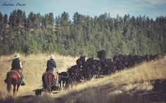 Trailing cattle near Columbus, Montana.