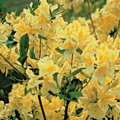 Lemon Lights Rhododendron  A Chorus of Bright, Fragrant Yellow Trumpets!