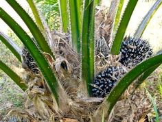 Picture of oil palm fruit bunches on the oil palm tree stock photo, images and stock photography. Palm Fruit Oil, Spiced Nuts, Tropical Fruits, Bald Eagle, Palm Trees, Spices, Herbs, Stock Photos, Vegetables
