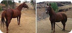 Temecula, CA - Quarterhorse/Thoroughbred Mix. Meet Jay a Pet for Adoption.