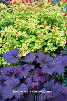 Violet Frost Heuchera and Spirea magic Carpet- winning combo!