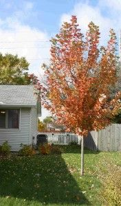 This is one of my favorite trees, The Autumn Flame Red Maple.