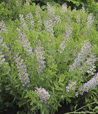 False indigo (Baptisia Starlite Prairieblues)