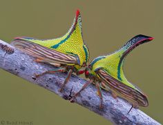 Thorn Treehoppers (umbonia crassicornis), female and male, Sanibel island Florida.