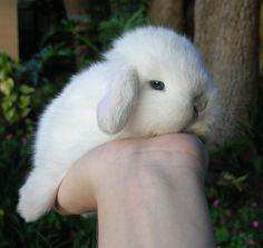 Lop Bunnies, Cute Baby Bunnies, Bunny Bunny, Bunny Care, Big Animals, Cute Little Animals, Animals And Pets, Pet Rabbit, Guinea Pigs