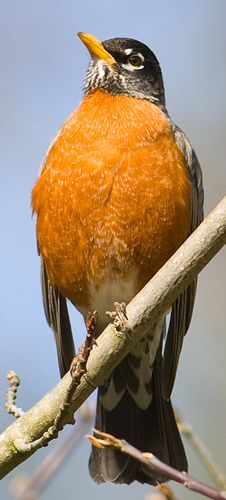 American Robin by cdbtx, via Flickr, haven't seen one yet, but hope to very, very soon!!!
