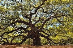 The angel oak tree near Charleston,  SC. It's said to be 1,000 years old. I have to go see this beautiful tree.