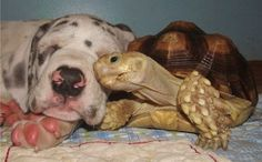 This tortoise and this puppy. | Community Post: The 40 Best Animal Cuddlers Of All Time