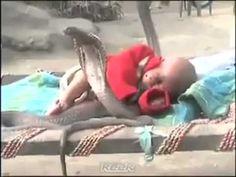 VIDEO INCREDIBIL. Un copil este protejat de mai mulți șerpi COBRA