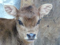 Oh my, a mini jersey calf!
