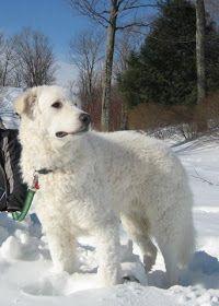 What S That Big White Dog Dogs Maremma Dog